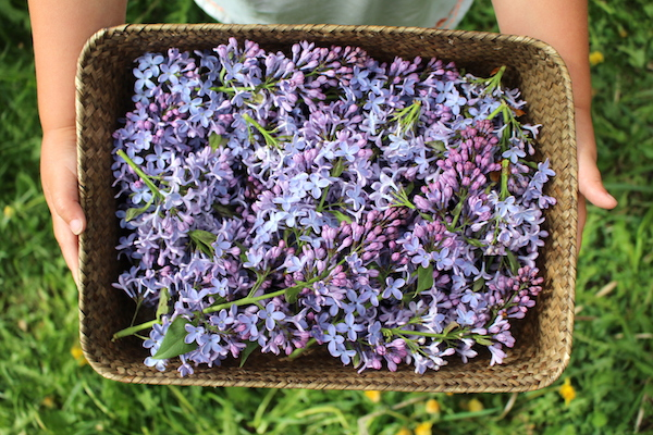 A basket of edible lilac flowers