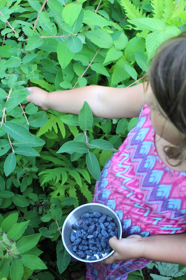 My young children picking haskaps for ice cream (honeyberries).